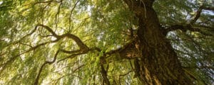 Weeping willow growing optimally with proper care tips