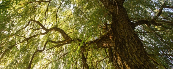Weeping Willows: Planting, Landscaping and Care Guide