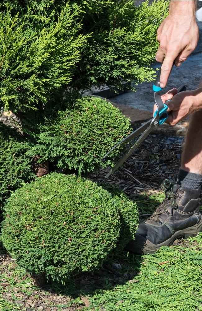 Shaping a thuja bush with correct tools