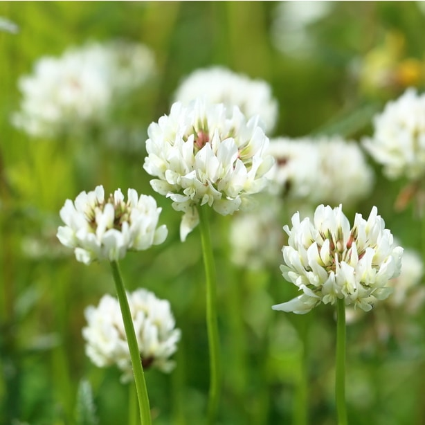 white clover can disperse seeds and are invasive plants