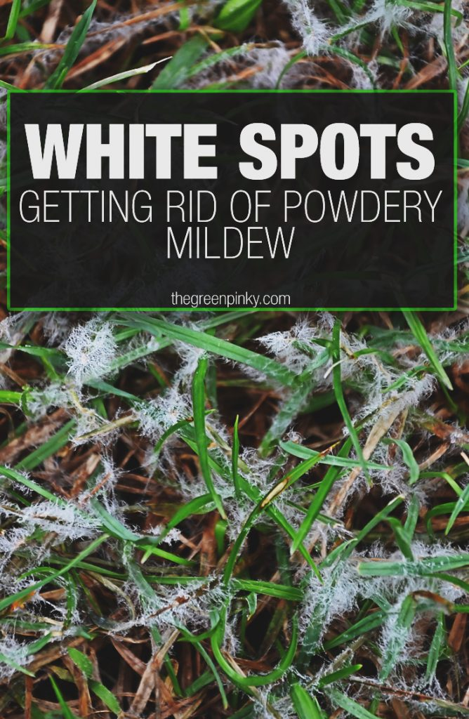 White spots on your lawn need to be dealt with and removed with through this guide.