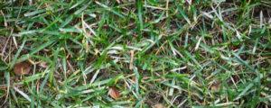 White spots on lawn actually represent powdery mildew
