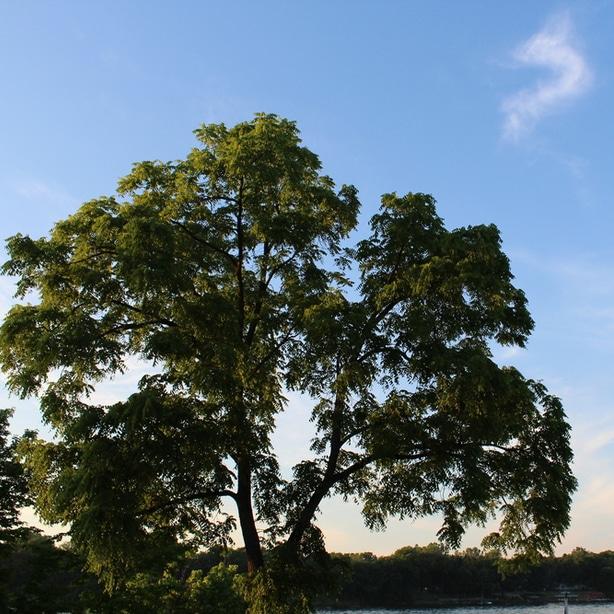 Black walnut tree showing off its wide canopy