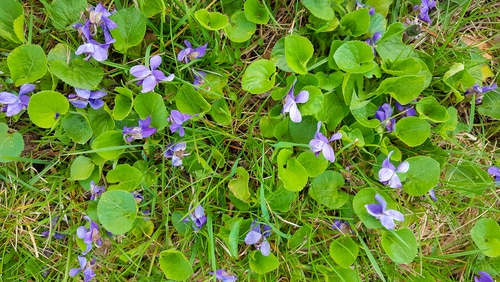 Wild violets are sometimes considered weeds and are unattractive.