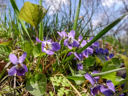 Wild violets can give an ugly feel to a garden or lawn.