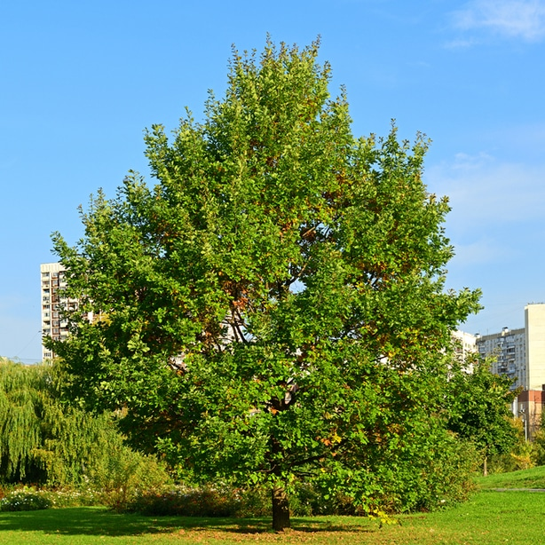 Willow oaks grow tall with strong roots