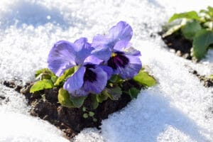winter pansies can create beautiful blooms with proper care.