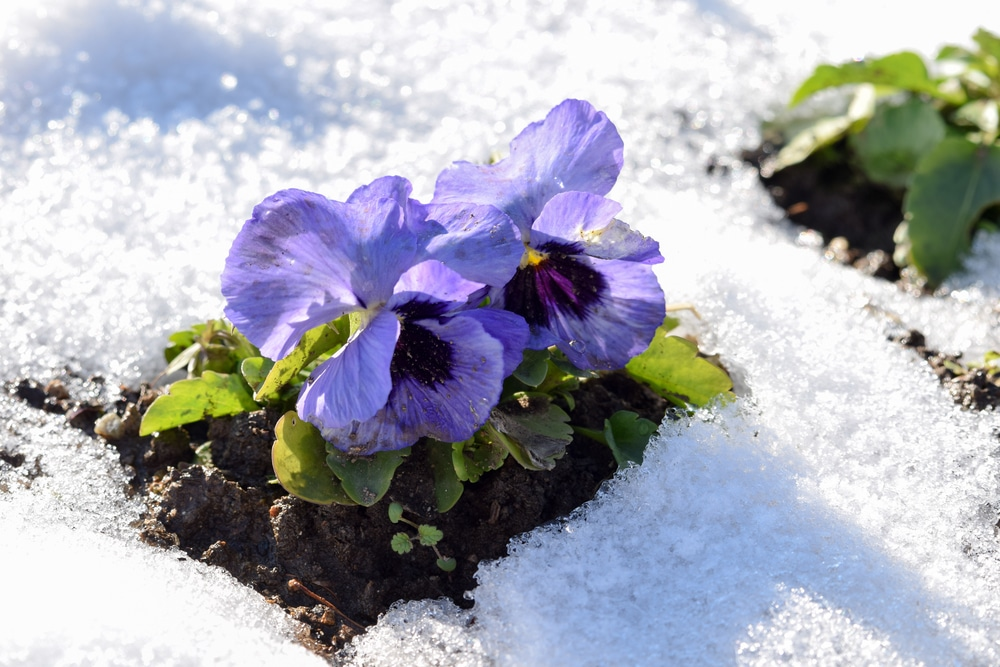 Winter Pansies - The Plant with a Beautiful Bloom