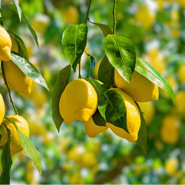 Lemons that are ready to be harvested