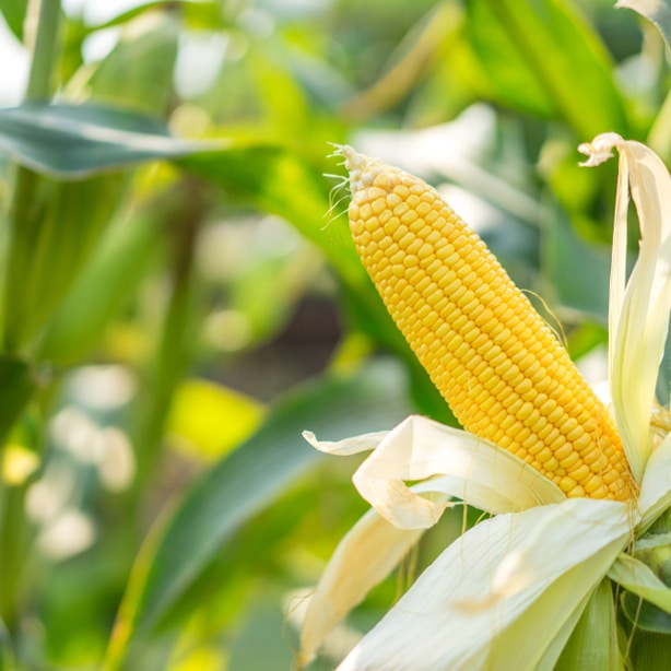 As your crop continues to mature it will start to yellow, symbolizing that it is almost time to harvest it.