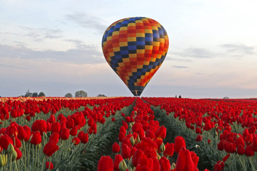 Wooden Shoe Tulip Fest in Woodburn Oregon with a hot air balloon sitting in the background of a field of tulips