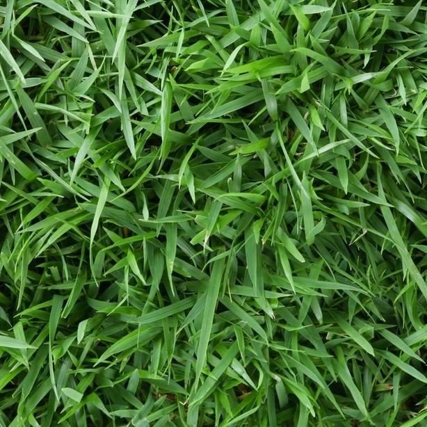 Zoysia turf with dark green blades