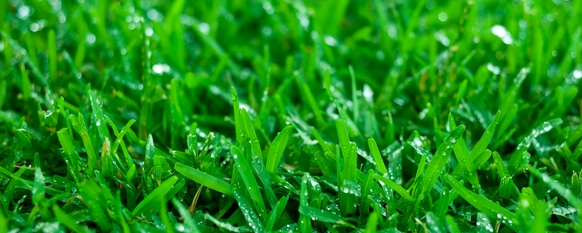 Zoysia grass needs the proper amount of water
